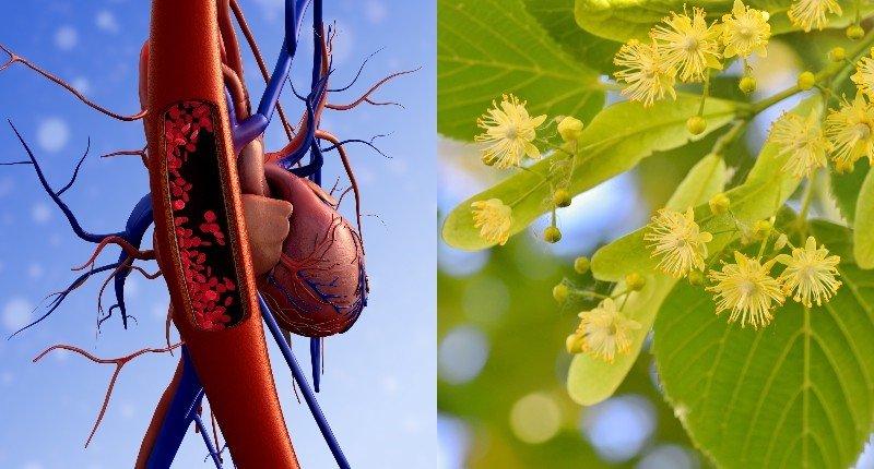 лекарственные свойства липового цвета