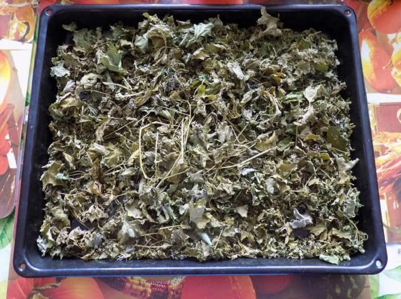 liečebné vlastnosti listov čierneho ríbezle