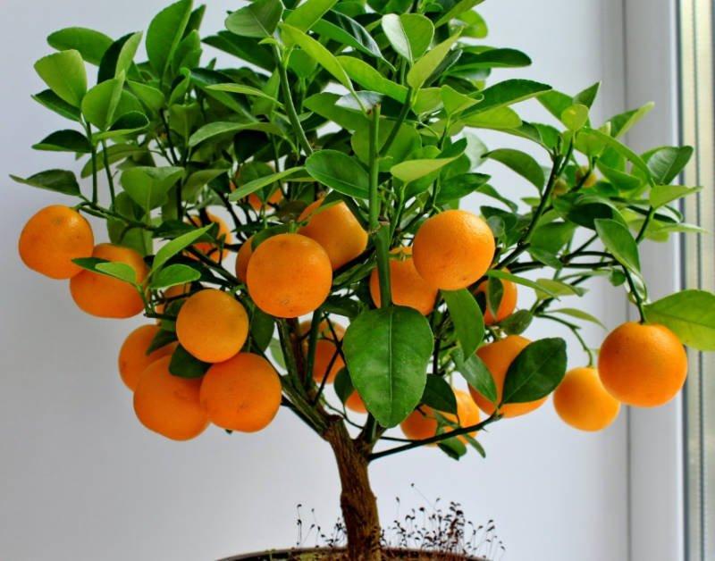 свойства запаха апельсина