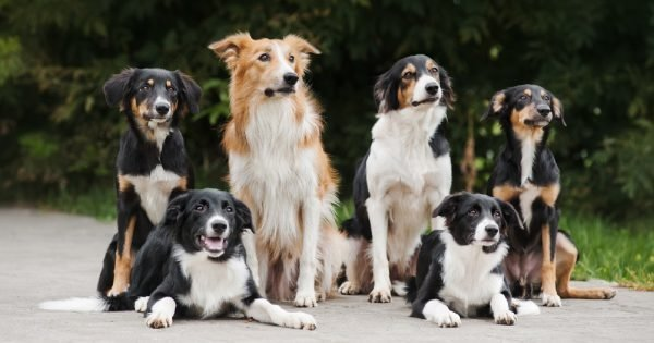 six dog border collie, family in summer