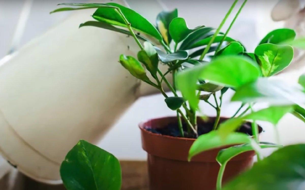 Цитрусовая поливка, после которой спатифиллум, бегония, герань и орхидея кайфуют Советы,Вазоны,Подкормка,Удобрения,Цветы