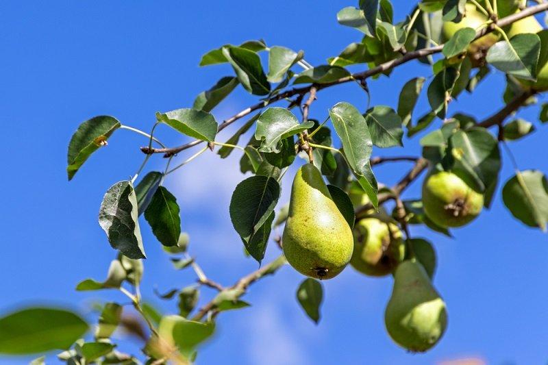 как ухаживать за корой плодовых деревьев