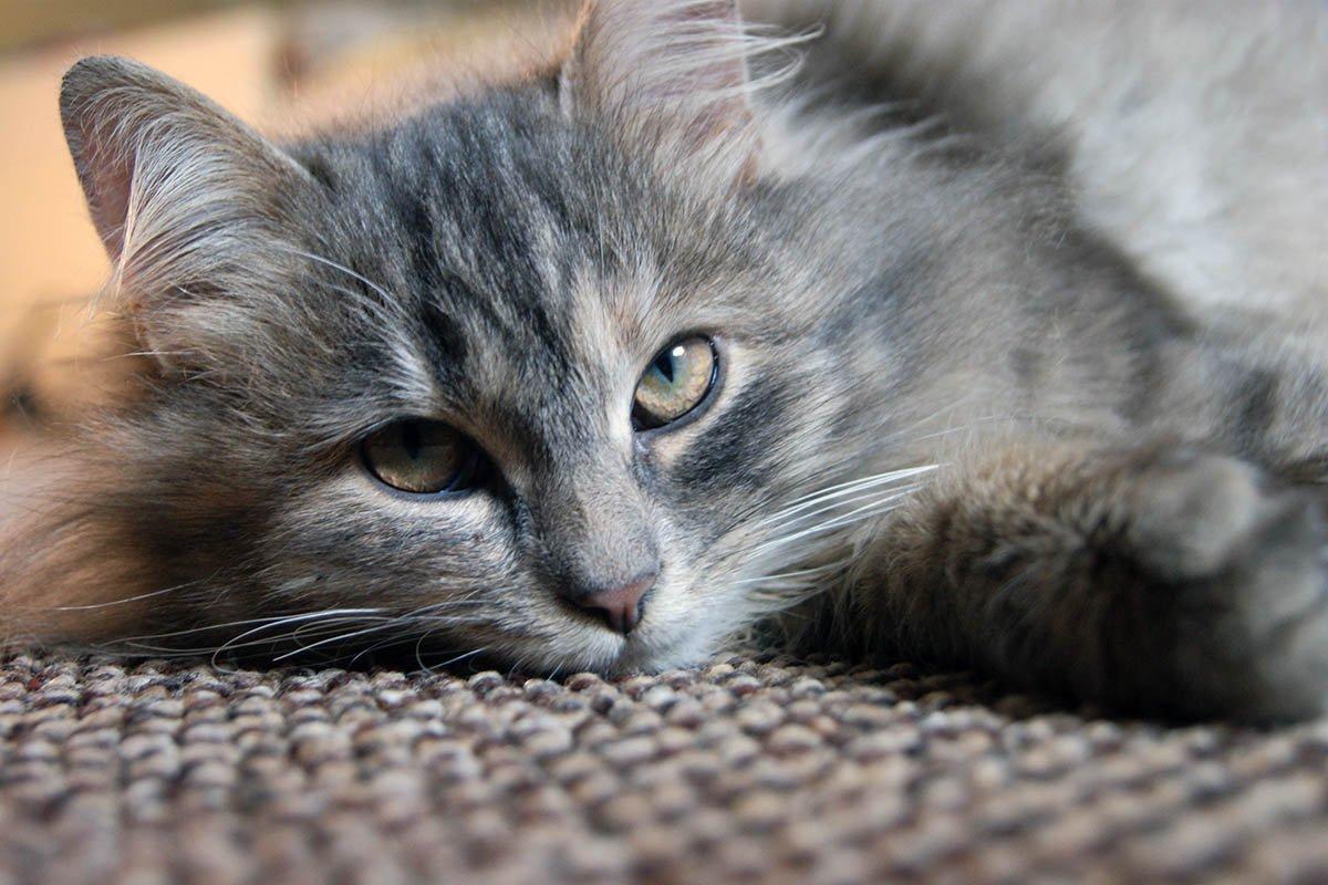 Почему взрослым котам нельзя давать молоко