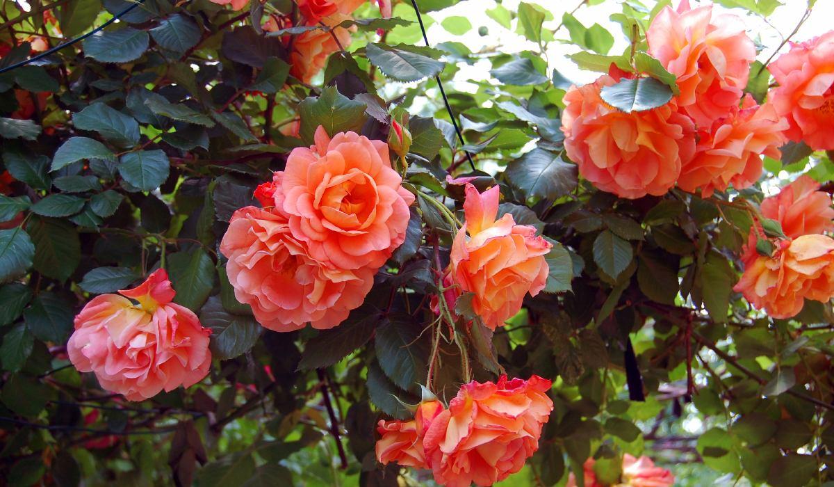 уход за розами дома
