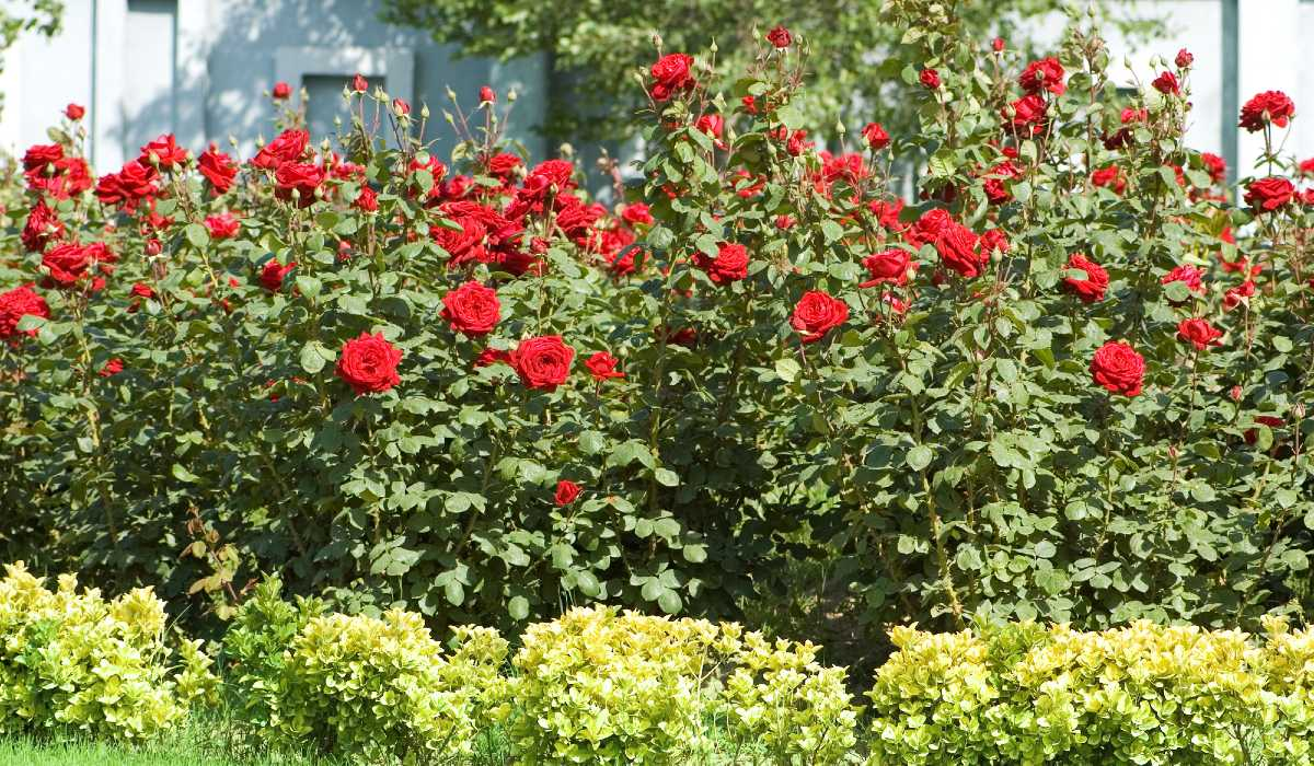 уход за розами ранней весной
