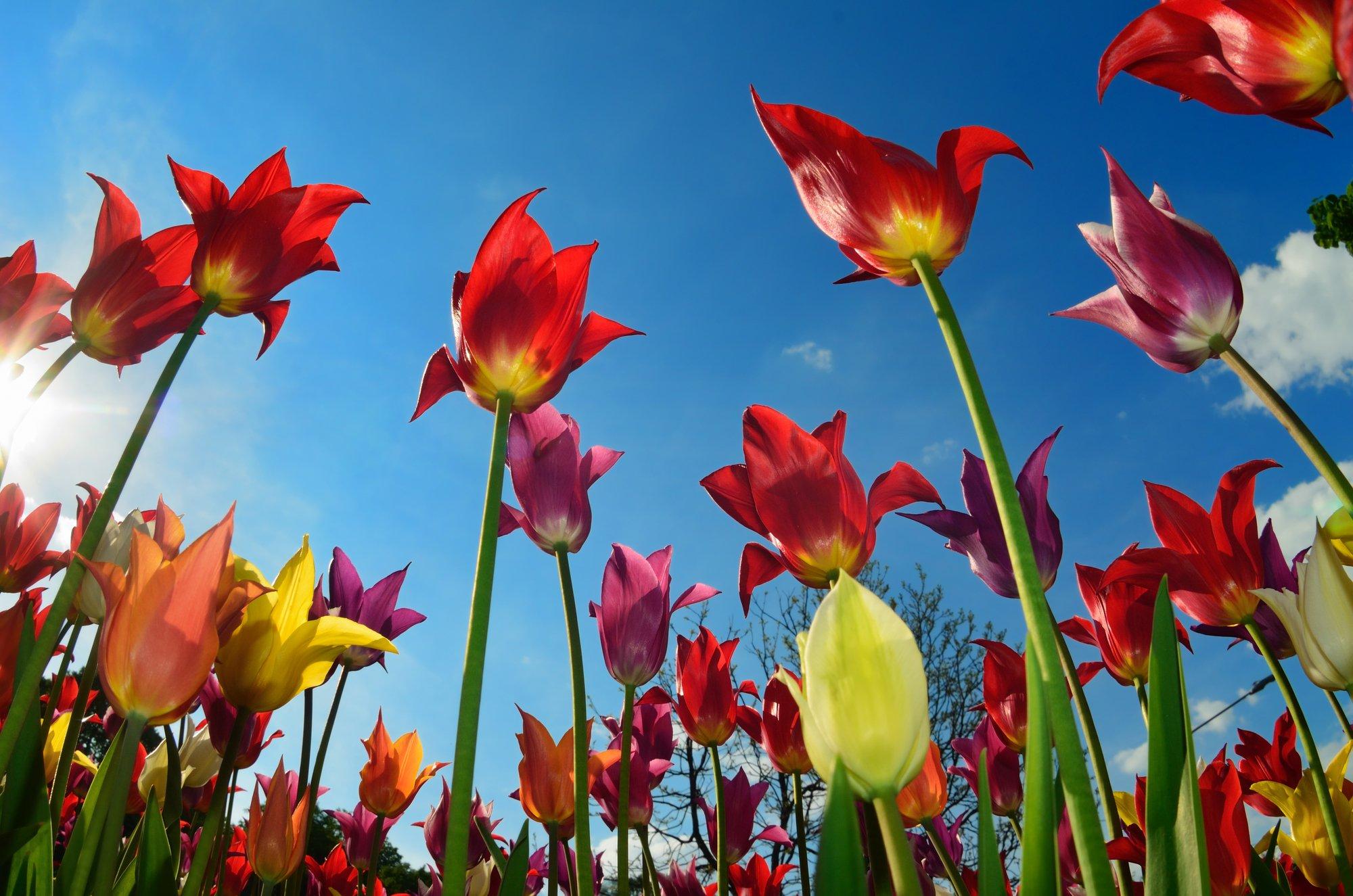 Правила весеннего ухода за тюльпанами