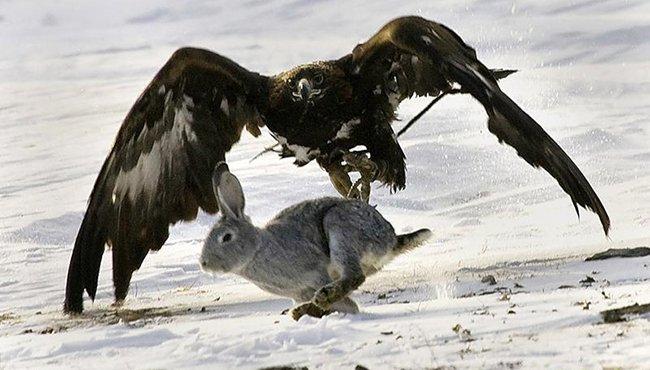 орел и кролик