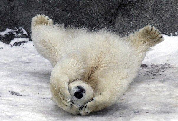 белый медведь в смешной позе