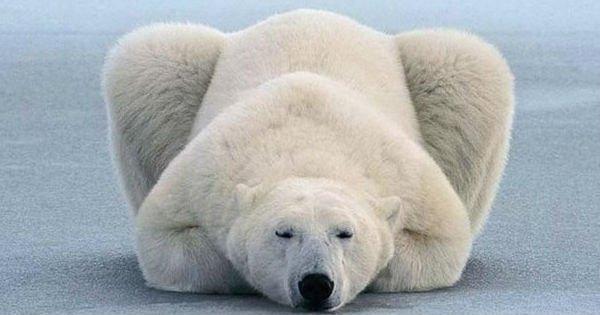 Даже мишки делают зарядку! Уроки йоги от полярного медведя.