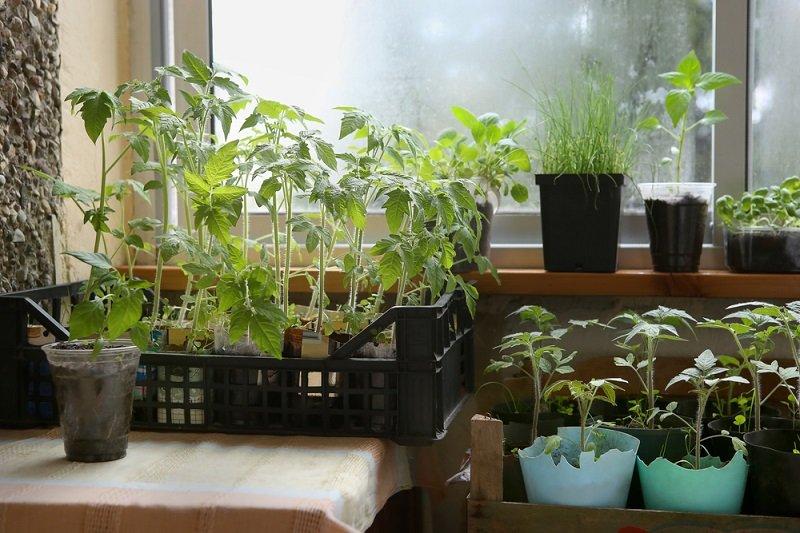 условия выращивания рассады перца