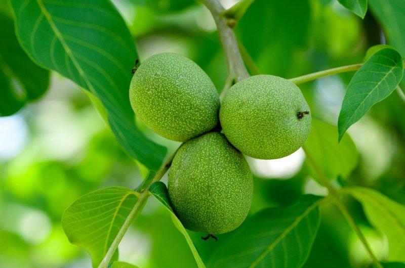 Варенье из зеленых орехов по рецепту молодой жены из Узбекистана