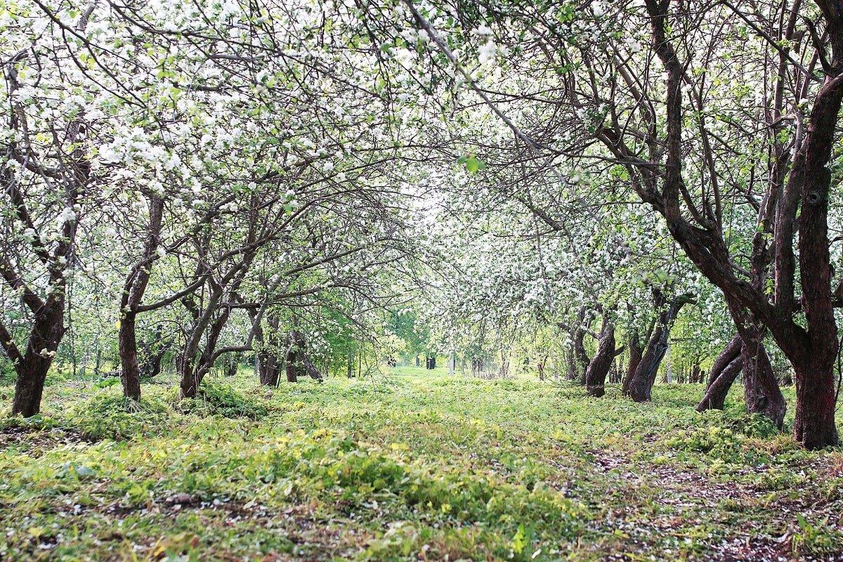 Чем и когда обработать деревья в саду
