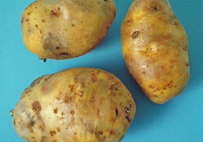 как выбрать хороший картофель