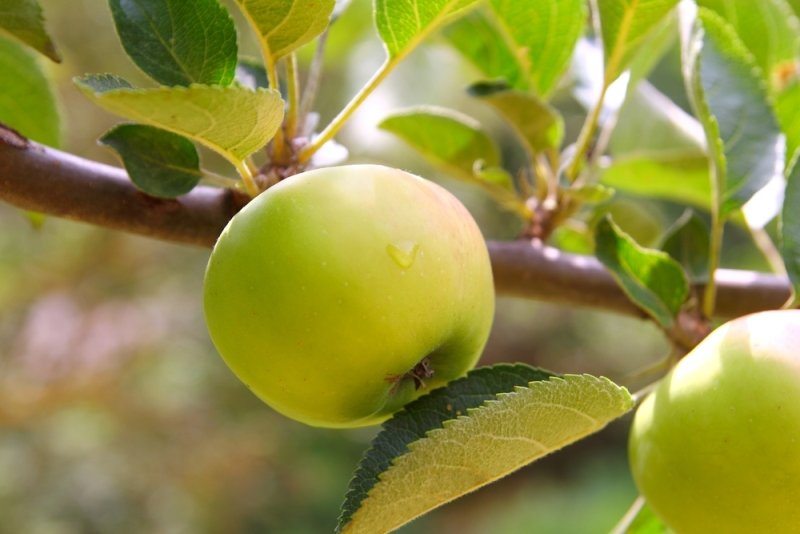 вкусные запеченные яблоки в духовке