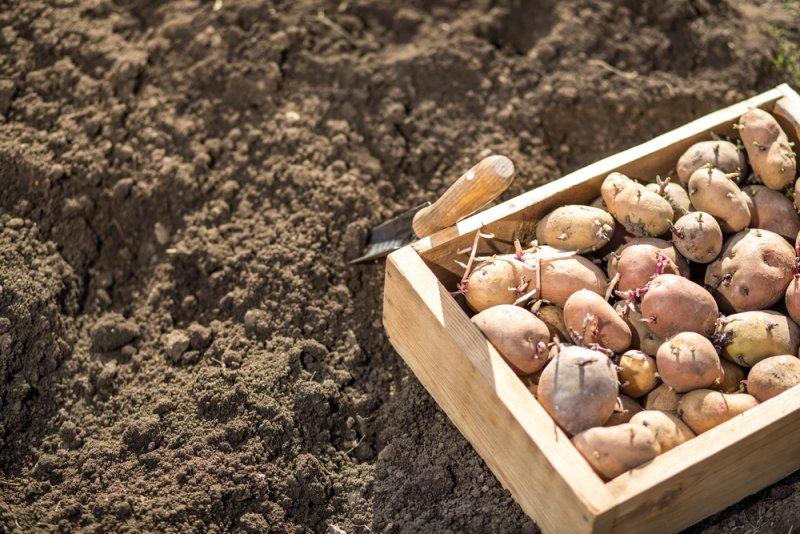 вред картофеля для организма