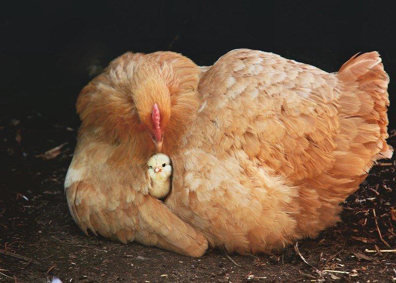 почему нельзя есть курицу и яйца