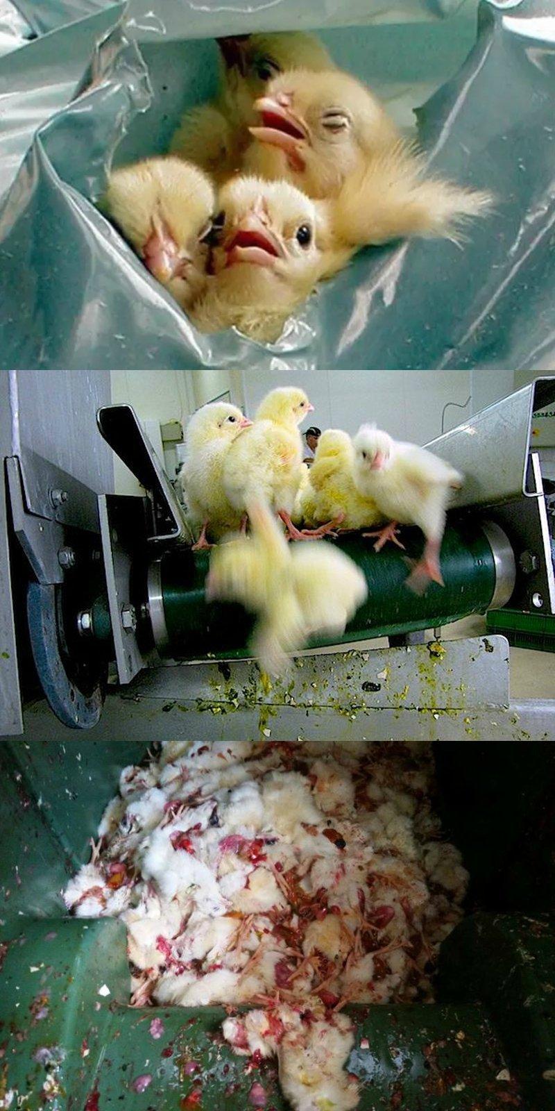 вред магазинных яиц