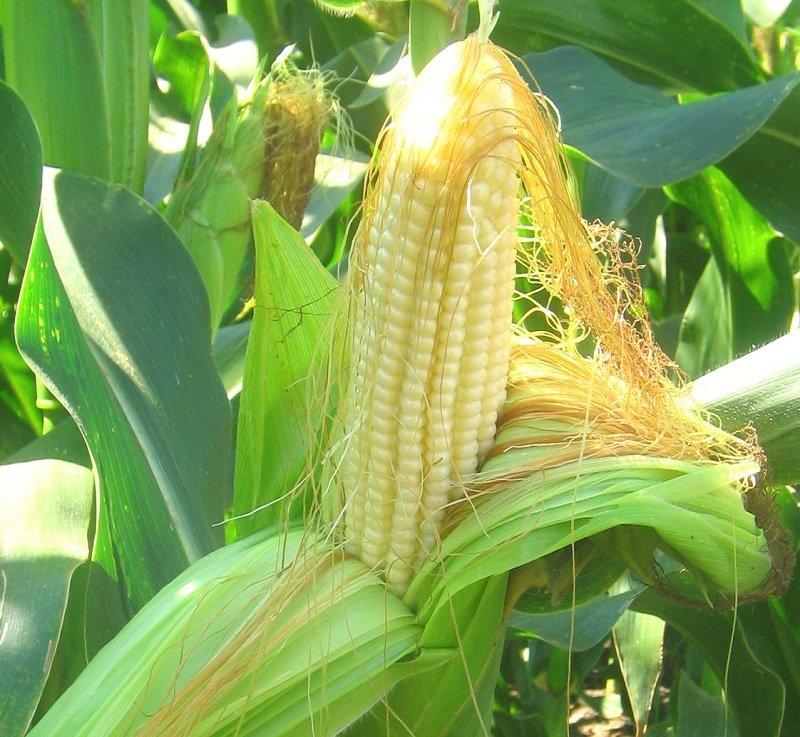 вред кукурузы