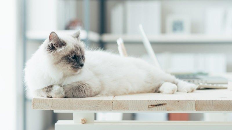 кот прыгает на стол как отучить