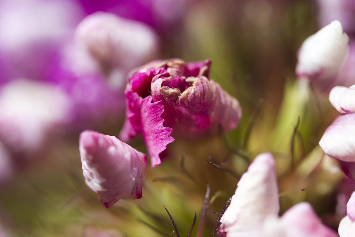 Рябые тюльпаны вырываю с луковицами, агитирую соседку вырвать свои тоже Советы,Вирусы,Сад,Тюльпаны,Уход,Цветоводство