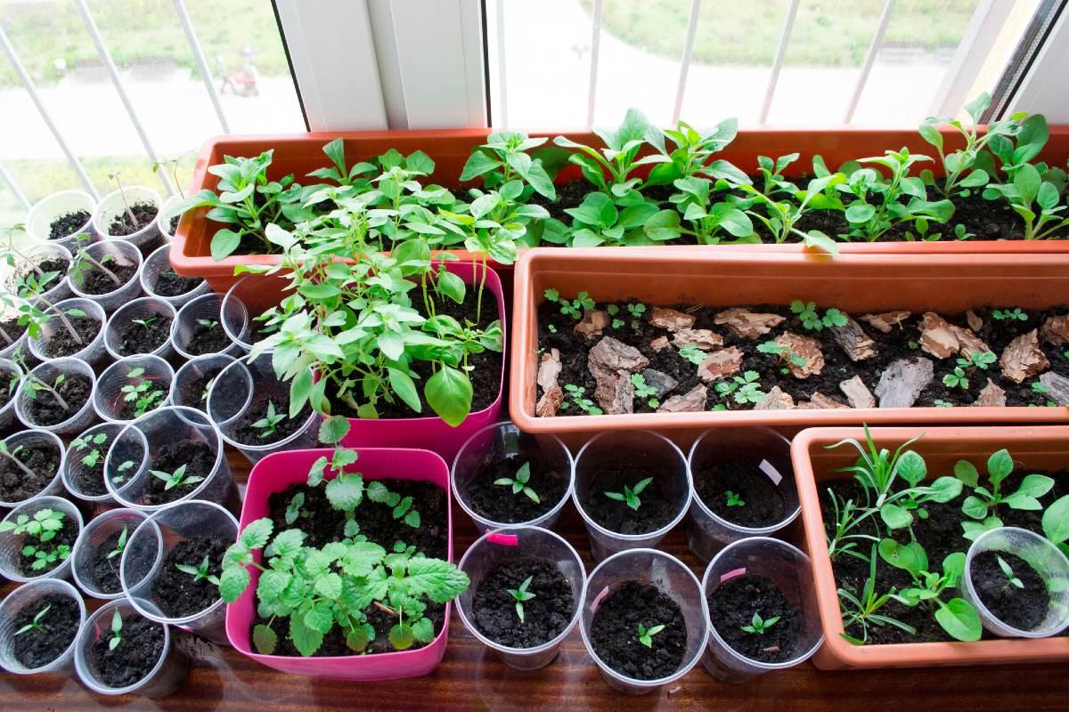 выращивание перцев из семян