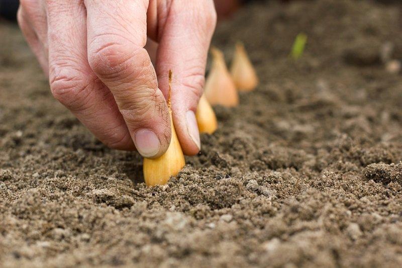 выращивание репчатого лука через рассаду