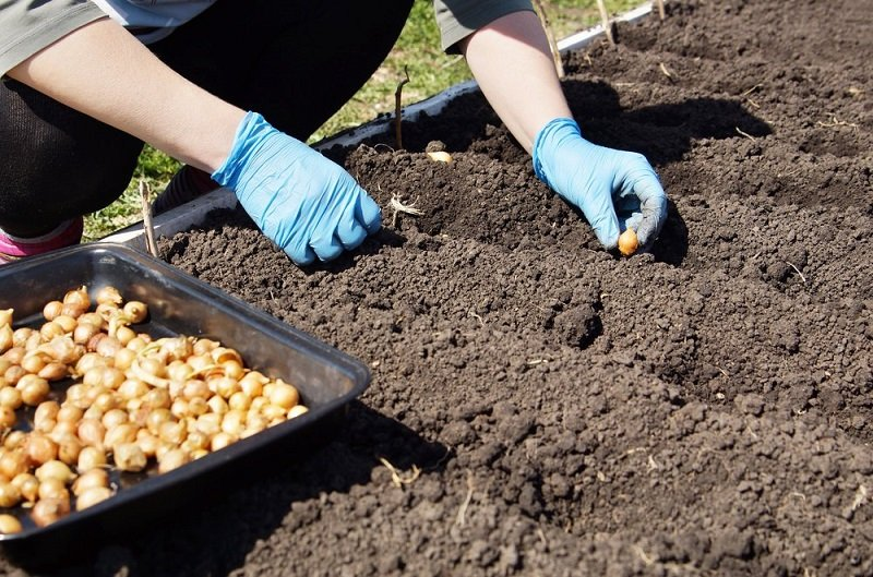 выращивание репчатого лука на продажу