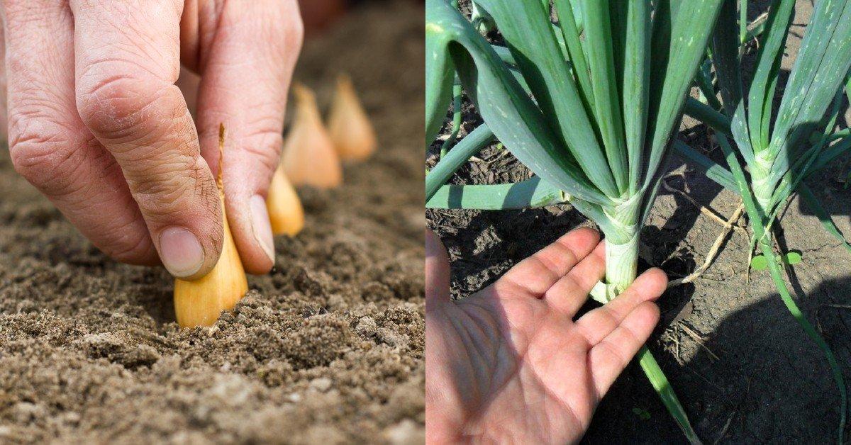 Как вырастить крупный лук и сохранить его до следующего лета thumbnail