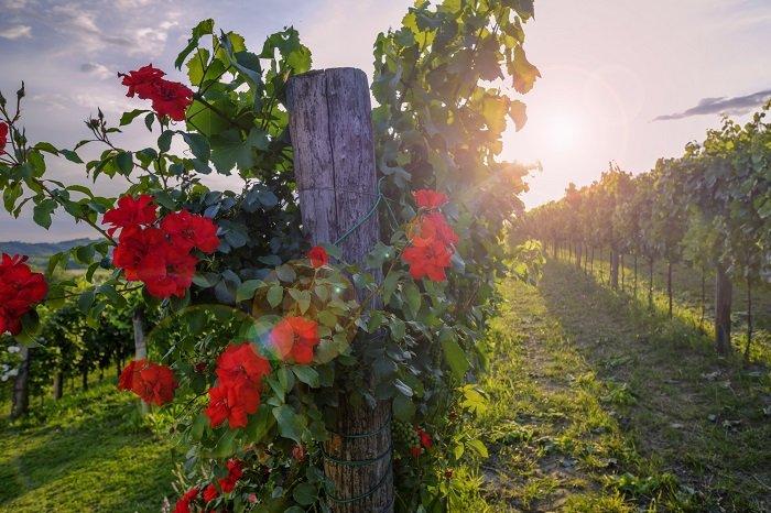 Как обустроить цветущий островок из роз на даче Вдохновение,Советы,Дача,Огород,Растения,Розы,Сад,Садоводство,Цветы