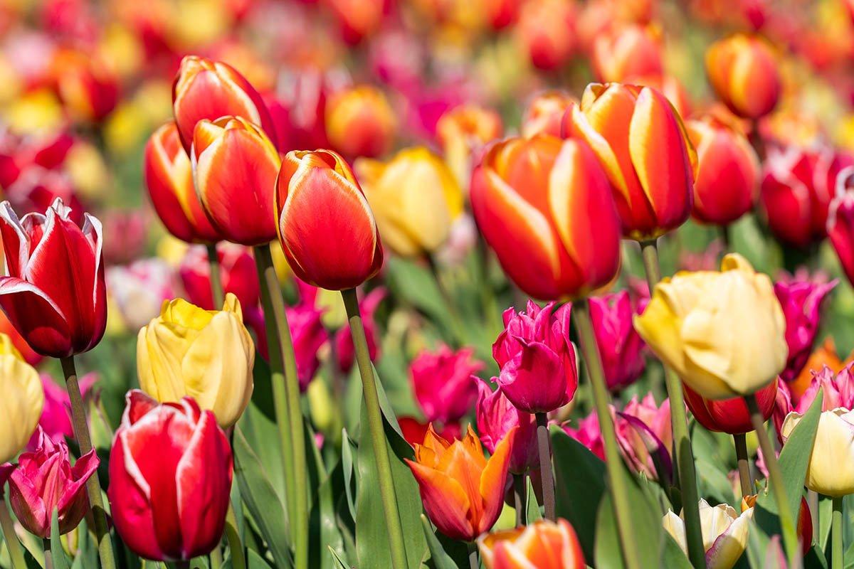 Срочные меры, если тюльпаны не цветут и вместо цветов одни листья