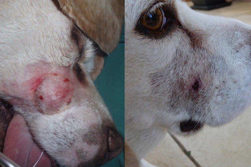 собака, больная раком