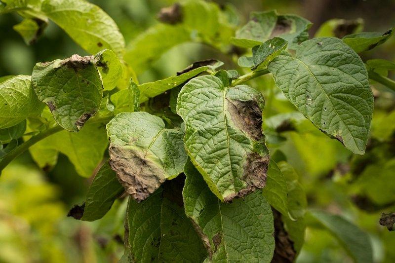йод для лечения растений