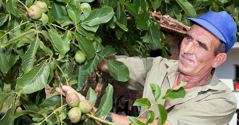 Продлевают жизнь на 5 лет! Делаю настойки из кожуры, варенье из плодов и обязательно ем свежими. Зеленые грецкие орехи как средство от старения.