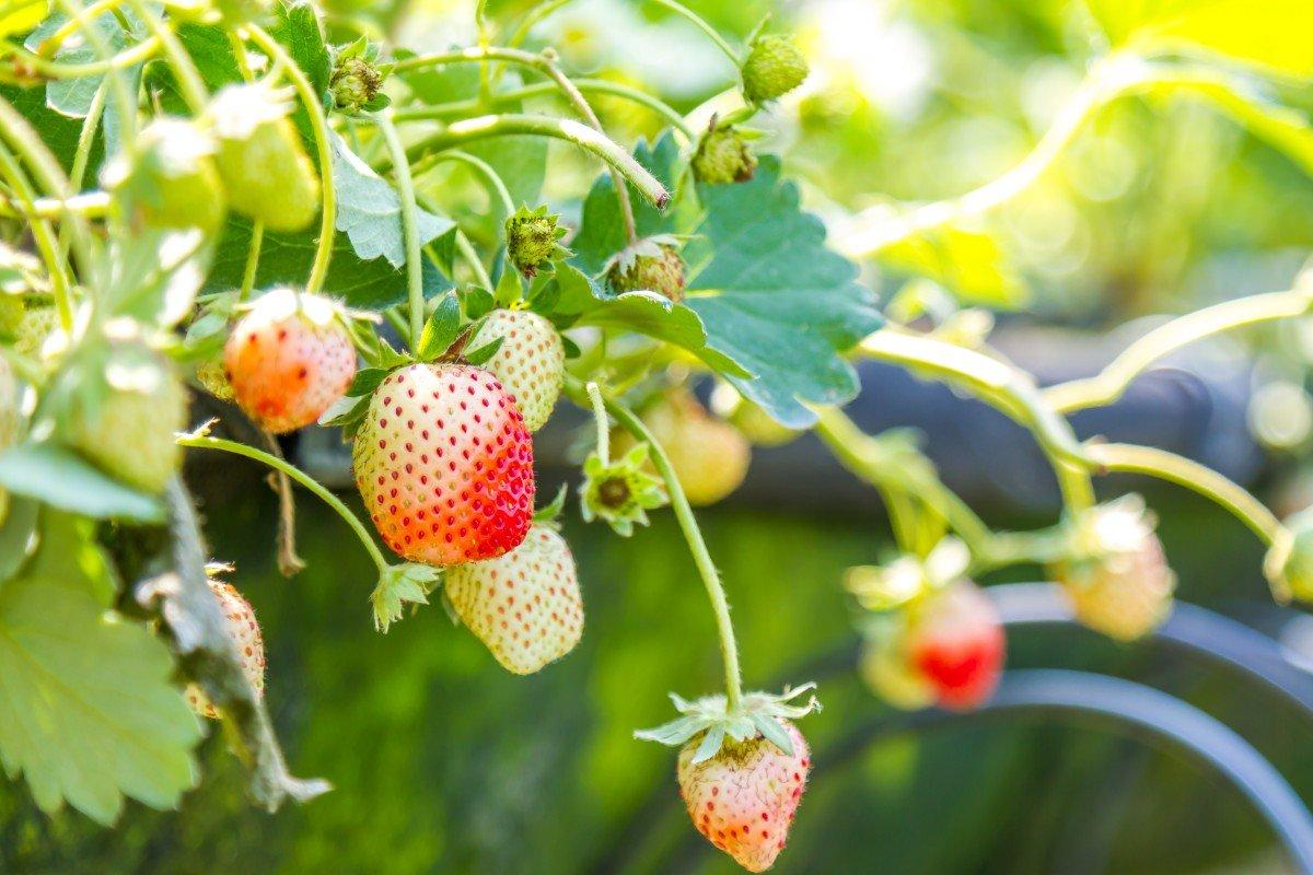 кусты клубники без ягод